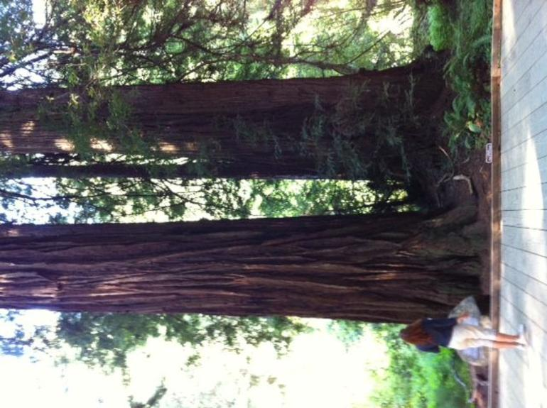 Big Tree in Muir Woods - San Francisco