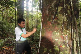 Our guide showing us how to extract syrup from certain trees in order to stay hydrated., peter - May 2013