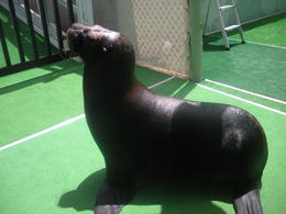 Photo of St Thomas Sea Lion Encounter at Coral World Ocean Park Omar was HUGE!