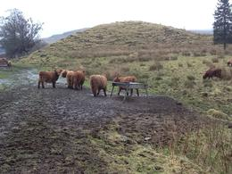 Photo of Edinburgh Loch Ness, Glencoe and the Highlands Small-Group Day Trip from Edinburgh Shaggy Higland Cows