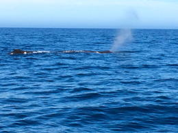 One of the two sperm whales we spotted. , jmetzger - November 2014