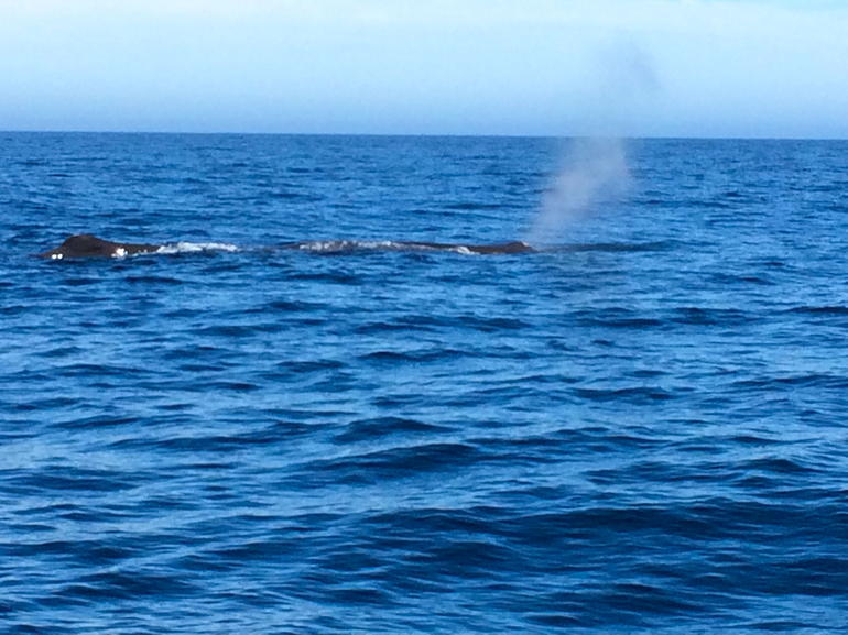 One of the two sperm whales we spotted.