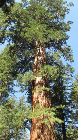 One Giant Sequoia we saw, 2000 years old!! , owenlynch - September 2013