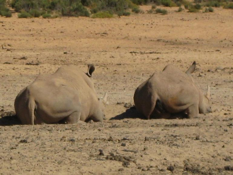 Two rhinoceres resting side by side after a hard day - South Africa