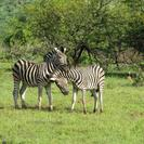 Photo of Johannesburg Pilanesberg Nature Reserve Safari and Sun City Day Trip Zebra at Pilanesberg (safari)