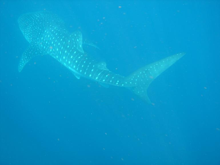 Whale Shark, Ningaloo Reef -