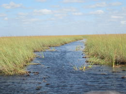 The airboats travel along these natural channels through the vast expanse of sawgrass swamp , Jan P - February 2013