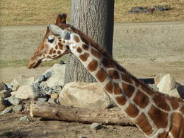 Photo of San Diego San Diego Zoo Safari Park Giraffe