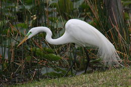 Photo of Fort Lauderdale Small-Group Tour: Everglades Adventure Day Trip from Ft Lauderdale Great Egret