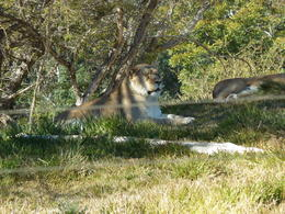 Photo of San Diego San Diego Zoo Safari Park A Lion hanging in the shade