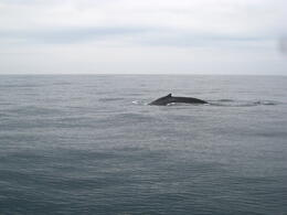 Photo of San Francisco Whale Watching & Wildlife Eco Tour from San Francisco Grey whale