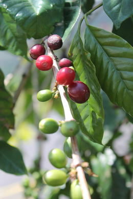 Photo of Big Island of Hawaii Kona Coffee and Craters Berries