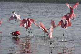 Photo of Fort Lauderdale Small-Group Tour: Everglades Adventure Day Trip from Ft Lauderdale Roseate Spoonbills