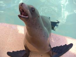Laughing sea lion - October 2009