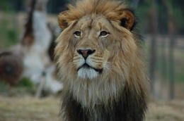 Photo of San Diego San Diego Zoo Safari Park Lion