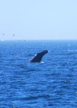 The whales would lunge out of the water for a number of seconds, they called this spy hopping. , Karen B - May 2014