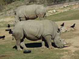 Photo of San Diego San Diego Zoo Safari Park Rhinoceros