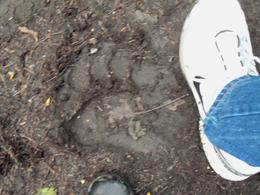 Bear track we saw along the trail. My husband wears a size 12 shoe for reference. , Mark P - September 2011