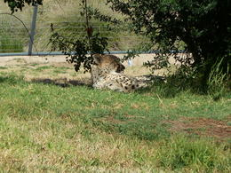 Photo of San Diego San Diego Zoo Safari Park Cheetah