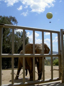 Photo of San Diego San Diego Zoo Safari Park Elephant