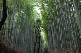 Photo of Kyoto Arashiyama and Sagano Morning Walking Tour Arashiyama Bamboo Grove