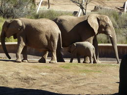 Photo of San Diego San Diego Zoo Safari Park Elephants