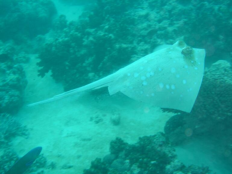 Ray at Coral Bay -
