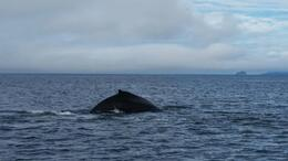 Humpback diving , Robert C - September 2014