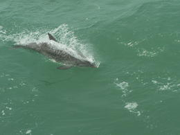 Photo of Tampa Clearwater Dolphin-Watching Tour dauphins