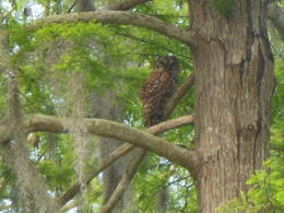 Photo of New Orleans Small-Group Bayou Airboat Ride with Transport from New Orleans a swamp owl