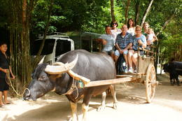Photo of Phuket Phuket Half-Day Safari Tour Buffalo