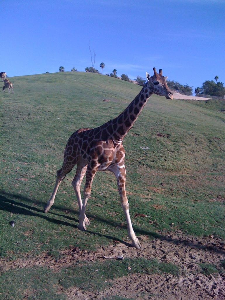 Miss Giraffe on the run! - San Diego