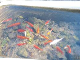 Photo of Las Vegas Grand Canyon Helicopter and Ranch Adventure Goldfish