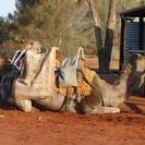 Photo of Ayers Rock Uluru Camel Express, Sunrise or Sunset Tours My Camel!!