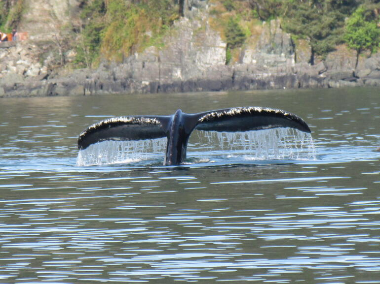The humpback goes under, flipping his tail at us! Beautiful. - Juneau