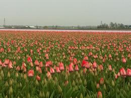 Tulip Fields outside the Gardens, isa - March 2013