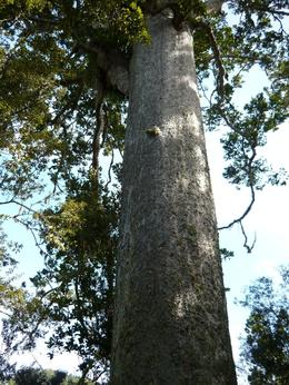 Photo of Auckland Auckland Highlights combined with Wilderness Experience Eco-Tour Kauri Tree