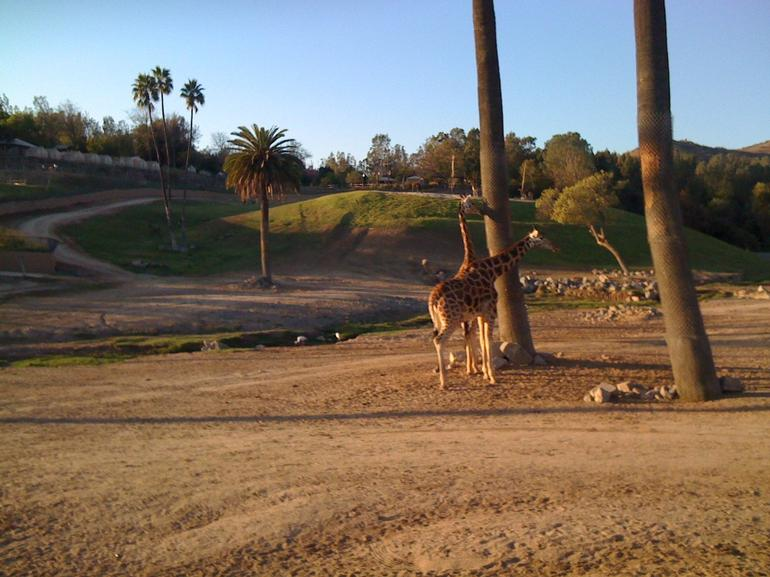 Two giraffes by a tree. - San Diego