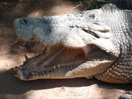 Photo of   big croc at cairns zoo