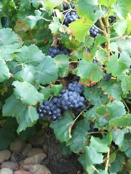 Photo of Avignon Rhone Valley Wine Tour from Avignon: Chateauneuf-du-Pape and Tavel Grapes at Chateauneuf-du-Pape