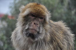 Another Gibraltar Ape! , kands - November 2012