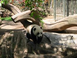 Photo of San Diego San Diego Zoo Transportation and Admission Panda walking down at San Diego Zoo