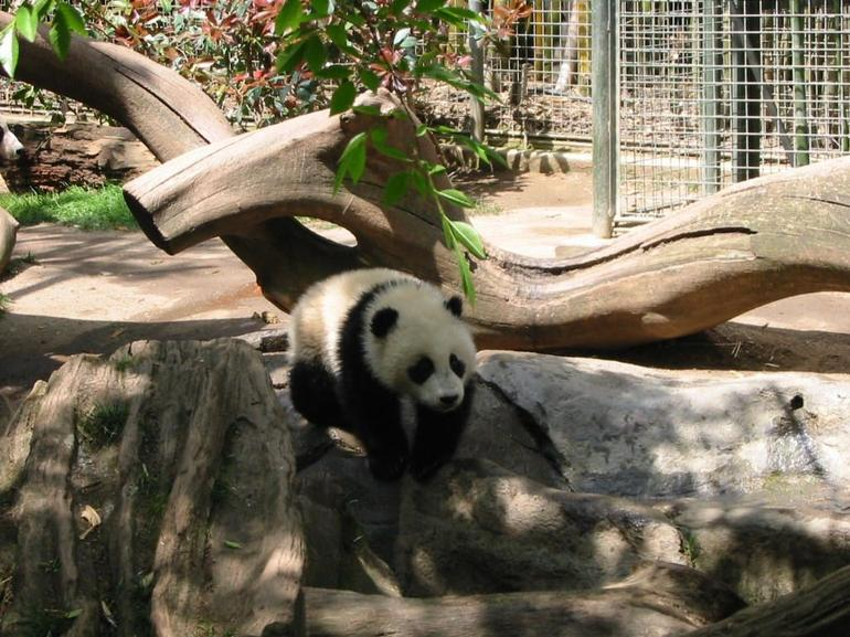 Panda walking down at San Diego Zoo - San Diego