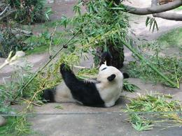 Photo of San Diego San Diego Zoo Transportation and Admission Panda eating at San Diego Zoo