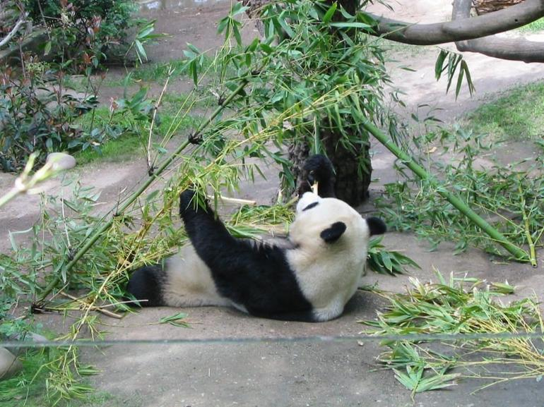 Panda eating at San Diego Zoo - San Diego