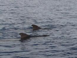 Photo of   Rare Pilot Whales
