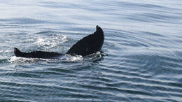 2 adult humpbacks and a calf swam with our boat for 30 minutes. The naturalist on board was able to identify the adults and photographed the calf for future identification. , Richard D - November 2015