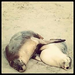 sea lions having a nap together , Carolina L - August 2012
