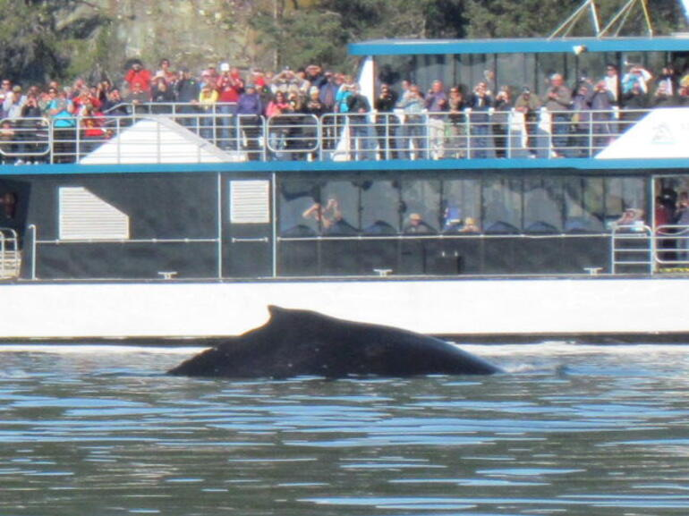 One of the three humpbacks very close to the other boat - Juneau