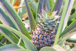 Pineapple plantation - June 2013